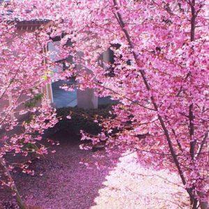 2017春京都、おかめ桜が満開
